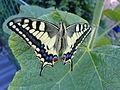 Schwalbenschwanz(Papilio machaon).jpg