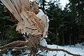 Scots pine snow breakage.jpg