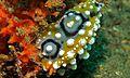 Sea Slug (Phyllidia ocellata) (6068791641).jpg