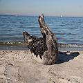 Seal Sleight (6214567797).jpg