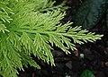 Selaginella pallescens var. aurea kz02.jpg
