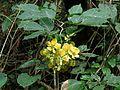 Senna dariensis - Flickr - treegrow.jpg