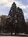 Sequioiadendron giganteum (Wellingtonia) South Park Sofia.jpg