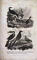 Seven birds; water rail, toucan, skimmer, avocet, woodcock, Wellcome V0022772.jpg