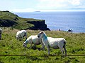 Sheep above Leckilroy Cove - geograph.org.uk - 496582.jpg