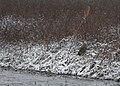 Short-eared Owl (30928839217).jpg