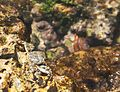 Shot of a crab at Caleta Buena.jpg