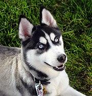 A blue-eyed Siberian