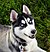 Siberian Husky blue eyes Flickr.jpg
