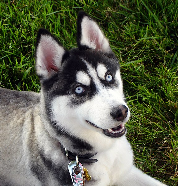 File:Siberian Husky blue eyes Flickr.jpg