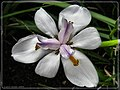 Siberian Iris - Flickr - pinemikey.jpg