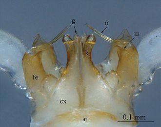 Gonopod - Sinocallipus steineri