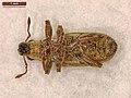 Sitona lineatus (41293162111).jpg