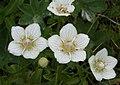 Slåtterblomma - Parnassia palustris 2 - Flickr - Ragnhild & Neil Crawford.jpg