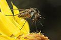 Slender Bee Fly (33040975193).jpg