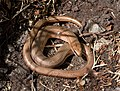 Slow Worm - Arnside Knott - geograph.org.uk - 920739.jpg
