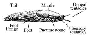 Drawing of slug with labels for the foot (bottom side) the foot fringe that surrounds it, the mantle behind the head, the pnumostome for breathing, and the optical and sensory tentacles