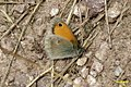 Small heath (NH) (8087003105).jpg