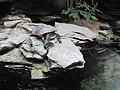 Snake-necked turtle in Berlin.jpg