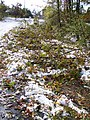 "Snow and tree damage from Lake Storm ""Aphid"" at UB North Campus, October 2006 (02).jpg"
