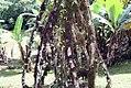 Socratea exorrhiza 21zz.jpg