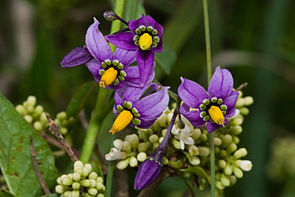 Bittersüßer Nachtschatten (Solanum dulcamara), Blüte