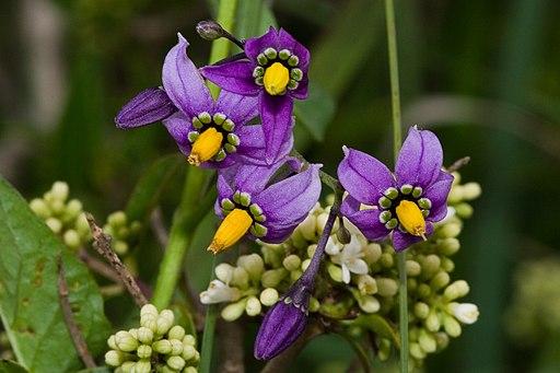 Solanum dulcamara-01 (xndr)