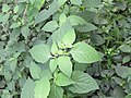 Solanum nigrum - Black Nightshade at Periya (3).jpg