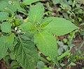 Solanum nigrum 21.JPG