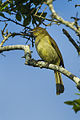 Sombre Greenbul - Natal - South Africa S4E8336 (16864222238).jpg