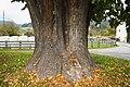 Sommer-Linde mit Plakette in Tiffen.jpg