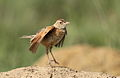 Song and dance routine of the Rufous-naped Lark, Mirafra africana at Rietvlei Nature Reserve, Gauteng, South Africa (15857525500).jpg