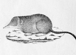 Sorex coronatus 1828.jpg