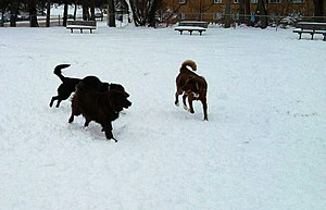 English: Canine friends enjoy Winter play at a...