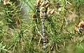 Southern Hawker dragonfly (f) (9501799245).jpg