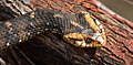 Southern watersnake in defensive posture (27564085765).jpg