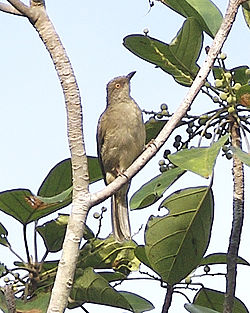 Spectacled Bulbul (Pycnonotus erythropthalmos) - Flickr - Lip Kee.jpg
