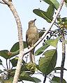 Spectacled Bulbul (Pycnonotus erythropthalmos) - Flickr - Lip Kee.jpg