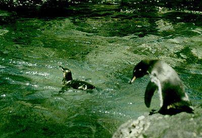 Pinguinul de Galapagos