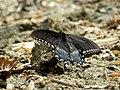 Spicebush Swallowtail (33345928044).jpg