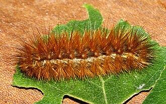 Host (biology) - Buff ermine moth caterpillar, a polyphagous micropredator