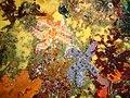 Spiny starfish at Justins Caves PC167273.JPG
