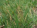 Sporobolus virginicus (5188556250) (2).jpg