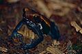 Spotted Toad (Rhaebo guttatus) (10381167504).jpg