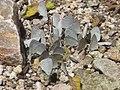 Spring Azures Mud-Puddling (4075323953).jpg