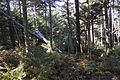Spruce-Fir Forest on Mount Mitchell.jpg