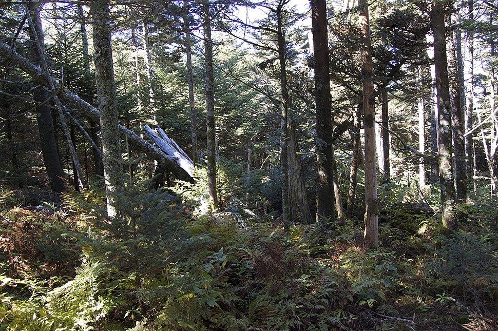 Spruce-Fir Forest on Mount Mitchell