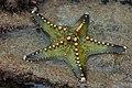Starfish 01 (paulshaffner).jpg