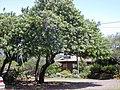 Starr-030418-0144-Schinus terebinthifolius-habit-Makawao-Maui (24604510886).jpg
