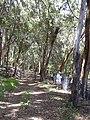 Starr-040812-0047-Eucalyptus sp-habit-Kauhikoa hill-Maui (24715331895).jpg